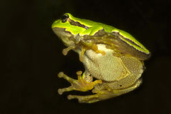Hyla cinerea Royalty Free Stock Photo