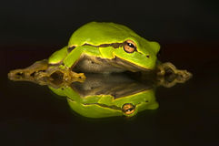 Hyla cinerea. Beautiful green tree frog stock photos