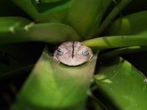 Hyla Faber de la rana del herrero en una bromelia Imagen de archivo