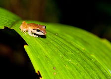 Hyla frog Royalty Free Stock Photo