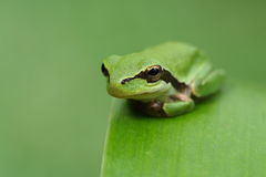 Hyla frog on a green leaf and green background rel. Hyla meridionalis frog on a green leaf and green background relax Stock Images