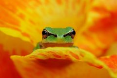 Hyla frog in yelow and orange flower contrast. Hyla frog on a yelow and orange flower contrast Stock Photo