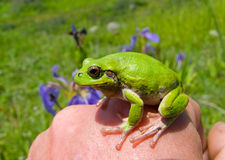 Hyla on hand. A close up of the frog hyla (Hyla japonica) on hand stock images
