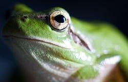 Hyla meridionalis (Mediterranean tree frog). Photo made with macro Royalty Free Stock Image