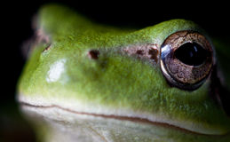 Hyla meridionalis (Mediterranean tree frog). Photo made with macro Royalty Free Stock Photo