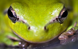 Hyla meridionalis (Mediterranean tree frog) eyes. Photo made with macro Stock Photo