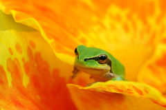 Hyla tree frog over a flower. Hyla tree frog over a yellow and orange flower watching and resting Royalty Free Stock Image