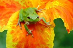 Hyla tree frog over a flower. Hyla tree frog over a yellow and orange flower watching at the camera challenging Stock Photos