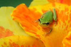 Hyla tree frog over a flower. Little hyla tree frog over a yellow and orange flower watching at the camera Stock Image