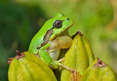 Hyla (tree toad) 10. A close up of the hyla (tree toad) (Hyla Japonica Stock Photo