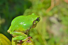 Hyla (tree toad) 13 Stock Photography