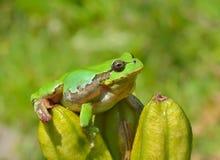 Hyla (tree toad) 14 stock photo