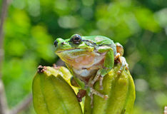 Hyla (tree toad) 19 Stock Photography