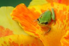 Hylabaumfrosch über einer Blume Stockbild