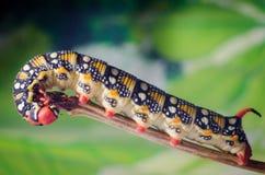 Hyles euphorbiae,毛虫 库存照片