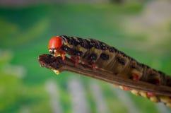 Hyles euphorbiae, caterpillar Royalty Free Stock Images