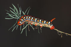 hyles hawkmoth euphorbiae гусеницы Стоковые Фото