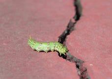 Hyles lineata caterpillar Stock Image