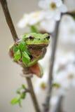 Hylidae de grenouille d'arbre Photos libres de droits