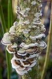 Hyllasvamp på ett träd Royaltyfri Bild