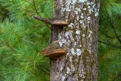 Hyllasvamp på ett Wisconsin träd Arkivbilder