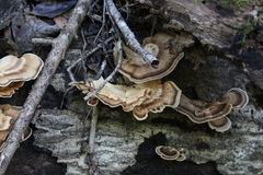 Hyllasvampar arkivbild