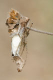Hyllus för spindel 3 diardi Arkivfoto