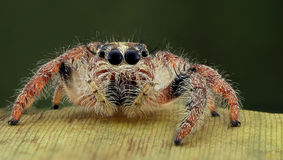 Hyllus spider potrait Stock Photography