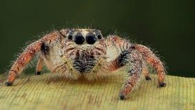 Hyllus spindelpotrait Arkivbild