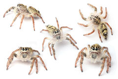 Hyllus-Spinne Stockfoto