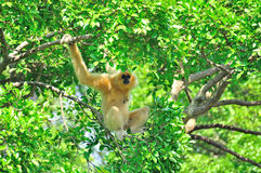 HYLOBATES GIBBON Stock Photos
