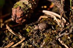 Hylobius-abietis Stockbild