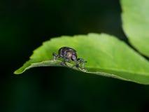 Hylobius abietis aka the large pine weevil - pest. Macro of weevil peering over edge of leaf stock image