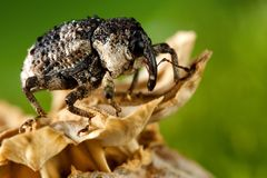 Hylobius bug and poppy head. Hylobius bug like a elephant on the poppy head stock image