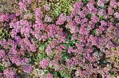 Hylotelephium ewersii Ledeb. H. Ohba Crassulaceae family. In summer royalty free stock photo