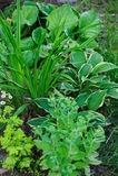 Hylotelephium Sedum spectabile plantado com hosta, hemerocallis e outros perennials foto de stock