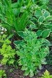 Hylotelephium Sedum spectabile plantado com hosta, hemerocallis e outros perennials fotos de stock