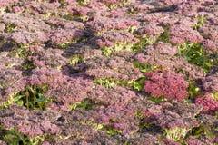 hylotelephium spectabile Стоковые Изображения