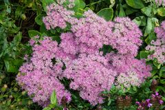 Hylotelephium spectabile or stonecrop. Blossoms of Hylotelephium spectabile or stonecrop in the garden with pink blossoms Stock Photo