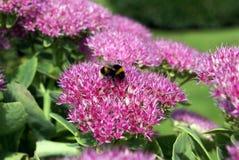Hylotelephium spectabile Uva de gato llamativa Planta de hielo Uva de gato de la mariposa Imagen de archivo libre de regalías