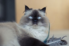 Hymalayan Cat with toy. A Himalayan seal point cat relaxing with her feather toy after capturing it Stock Image