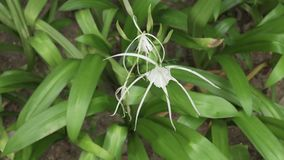 Hymenocallis beautiful tropical flower in park stock footage video. Hymenocallis beautiful tropical flower in the park stock footage video stock video