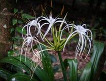 Hymenocallis biali kwiaty w lesie tropikalnym Khao Sok sanctu obraz royalty free