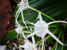 Hymenocallis bianco Fotografia Stock Libera da Diritti