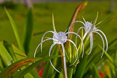Hymenocallis Royalty Free Stock Images