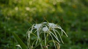 Hymenocallis-littoralis oder die Strandspinnenlilie lizenzfreie stockfotografie