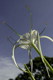 Hymenocallis speciosa Royalty Free Stock Photos