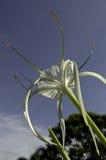 Hymenocallis speciosa Lizenzfreie Stockfotos
