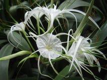 Hymenocallis speciosa flower Royalty Free Stock Image