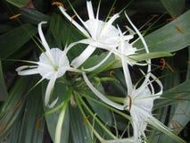 Hymenocallis speciosa flower Royalty Free Stock Photos